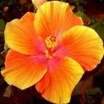 """Hibiscus one"" by Ks.mini - Own work. Licensed under Creative Commons Attribution-Share Alike 3.0 via Wikimedia Commons - http://commons.wikimedia.org/wiki/File:Hibiscus_one.jpg#mediaviewer/File:Hibiscus_one.jpg"